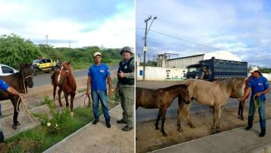 Photo of #Chapada: Animais soltos nas ruas de Itaberaba são recolhidos durante operação da prefeitura com a PRF