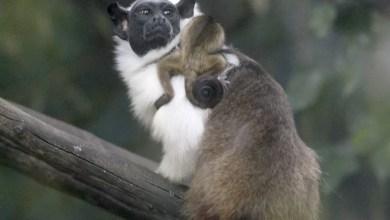 Photo of Primata ameaçado de extinção se reproduz em Zoológico de Brasília durante pandemia do novo coronavírus