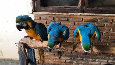 Photo of #Salvador: Polícia ambiental resgata oito araras amarelas criadas em cativeiro em bairro da capital