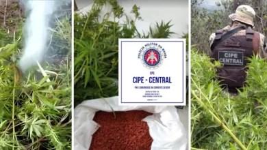 Photo of #Chapada: Polícia destrói plantação com cerca de 500 pés de maconha em área de proteção ambiental em Ibicoara