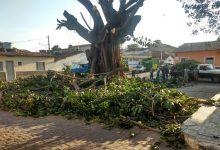 Photo of #Chapada: Poda de árvore centenária divide opiniões em Palmeiras; parte dos moradores fica indignada