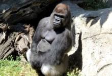 Photo of #Mundo: Gorila de 190 quilos ataca funcionária do zoológico de Madrid e mulher fica gravemente ferida