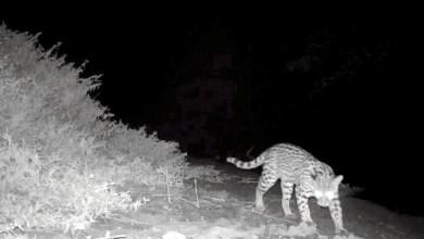 Photo of #Chapada: Projeto de monitoramento de animais silvestres em Jacobina recebe 13 câmeras doados pelo MP