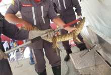 Photo of #Chapada: Bombeiros militares de Itaberaba capturam filhote de jacaré em tanque de terra de sítio