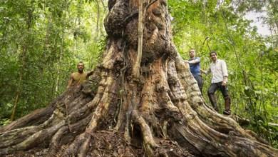 Photo of #Bahia: Maior pau-brasil do país é encontrado em Itamaraju; árvore tem mais de 500 anos 7 metros de circunferência