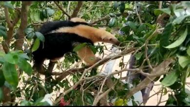 Photo of #Vídeos: Bombeiros militares resgatam tamanduá-mirim na copa de uma árvores em Feira de Santana
