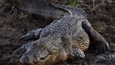 Photo of #Mundo: Crocodilo gigante é morto e policiais encontram restos de pescador desaparecido há dois dias dentro do animal