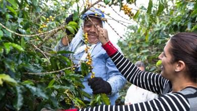 Photo of #Chapada: Produção de café na região entre os assuntos do programa especial que começa neste domingo no 'Bahia Rural'
