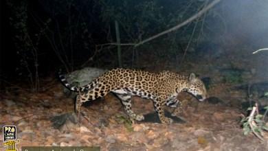 Photo of #Chapada: 'Programa Amigos da Onça' recebe doações de equipamentos para monitorar animais silvestres em Jacobina