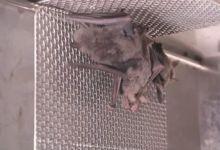 Photo of #Mundo: Vídeo com imagens de morcegos no que seria laboratório de Wuhan aquece polêmica sobre origem da covid-19