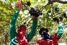 Photo of #Bahia: Produz mais de 30% das frutas do país com liderança  da região de Juazeiro na exportação de manga e uva