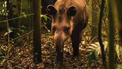 Photo of #Vídeo: Anta nasce em reserva brasileira onde espécie estava extinta há mais de 100 anos