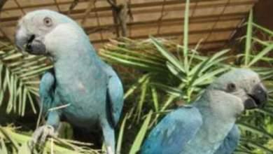 Photo of #Bahia: Filhotes de ararinhas-azuis nascem na região da Caatinga após 20 anos de extinção