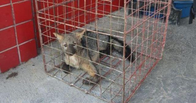 Cachorro-do-mato é resgatado na área urbana de Três Rios em trecho da BR-393