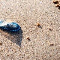 Medusas Velella Velella | Avistada nas praias de Mafra, Sintra e Torres Vedras (saiba os cuidados a ter)