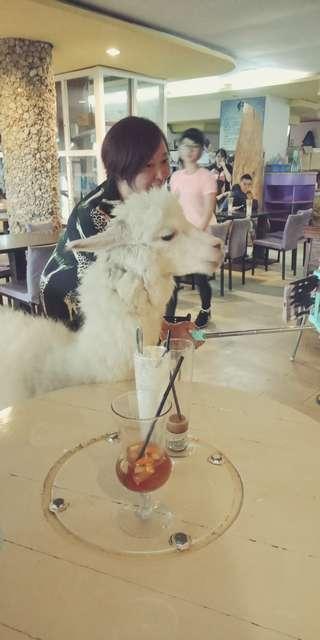 Alpaca Cafe Taiwan 1