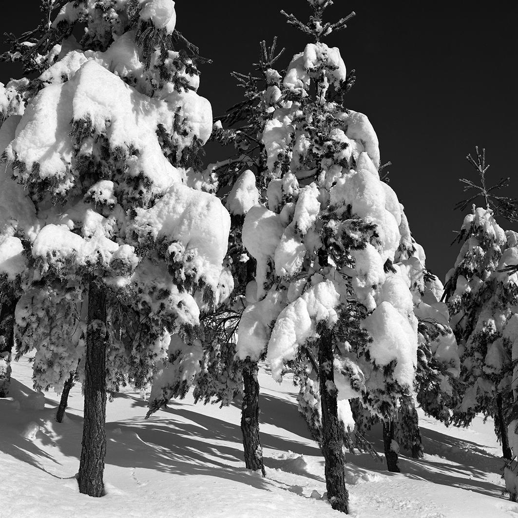 2-Pinos nevados, Os Ancares, Lugo, 1987