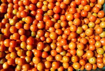 Sakata lanza al mercado tres nuevas variedades de tomate cherry