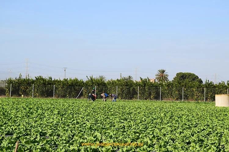 Campos de lechugas en Murcia