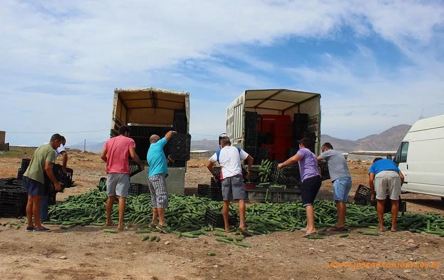 Agricultura Viva en Acción. Retirada de pepino