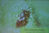 El nuevo bicho amigo, el Necremnus