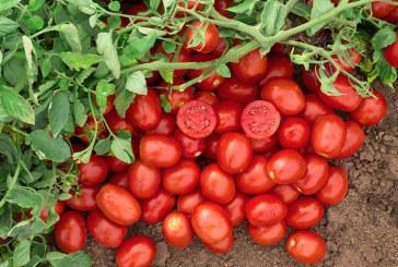 Nunhems se vuelca en el tomate de industria
