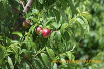 Menos fruta de hueso catalana para este verano