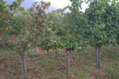 El mildiu, terror del viticultor