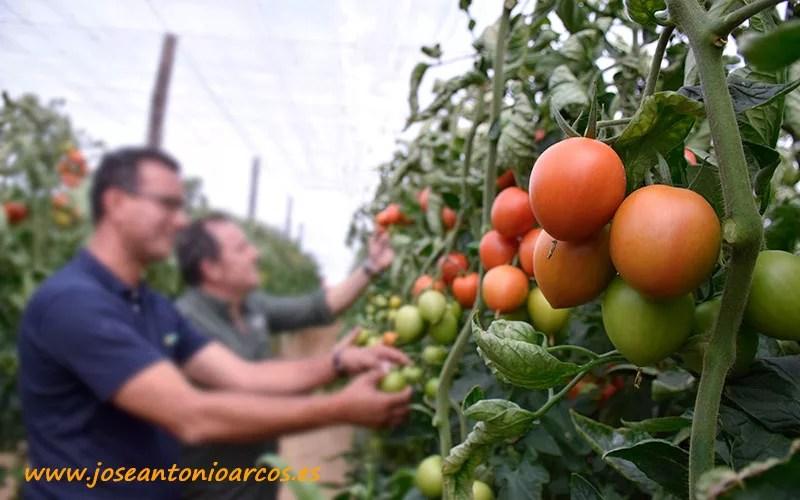 Tomate Carmona de Yüksel Tohum.