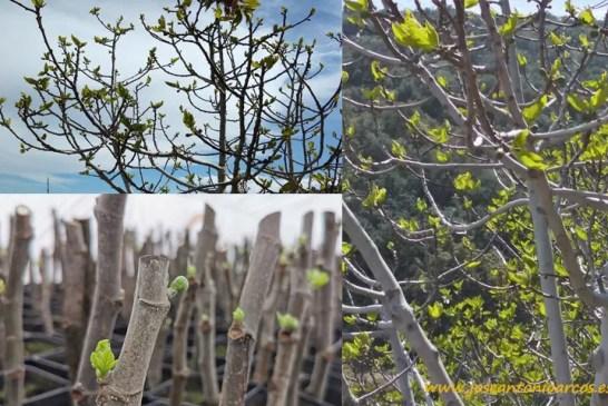 El higo como cultivo alternativo de futuro