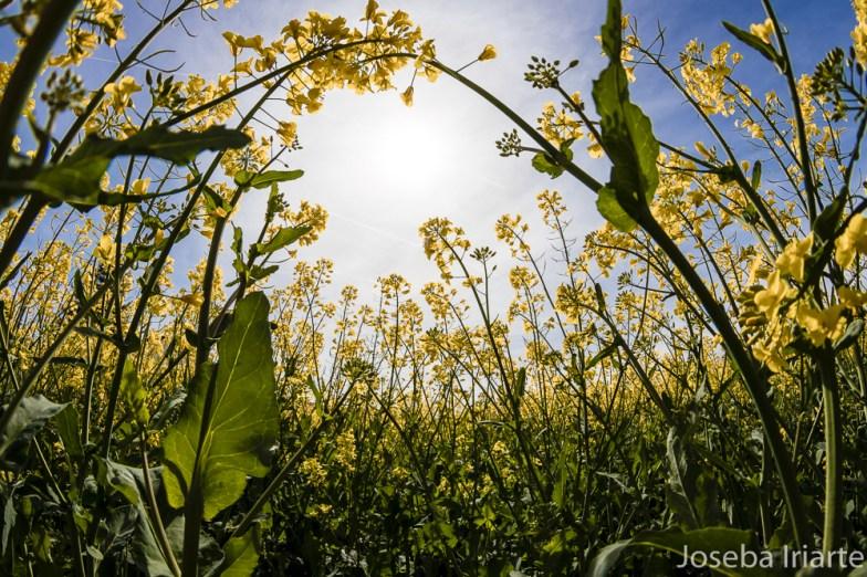 Campos de primavera