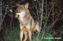Lobo dominante marcando