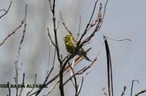 Verdecillo común macho
