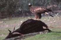 Águila Real sobre carroña