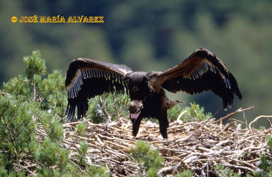 Buitre Negro 29