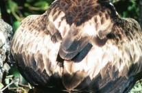 Águila Calzada fase clara