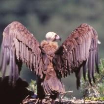 Buitre Negro en su nido