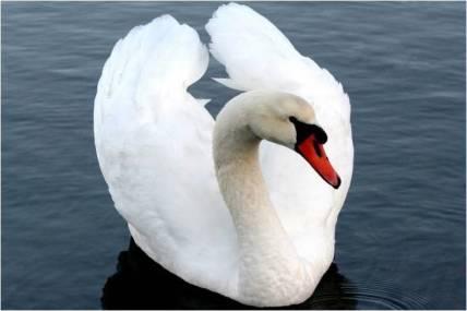 Cuello de algunos animales como el cisne.