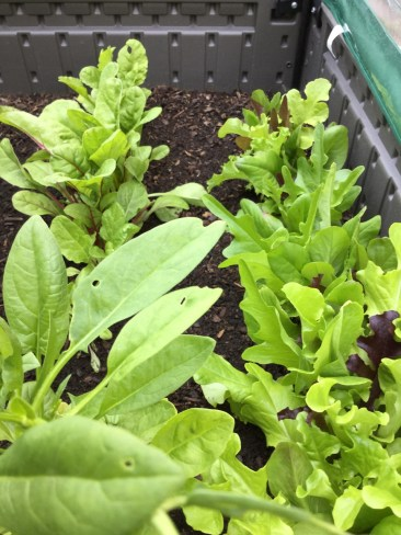 To the right is assorted lettuce, in the front left is spinach and Swiss chard to the rear left.