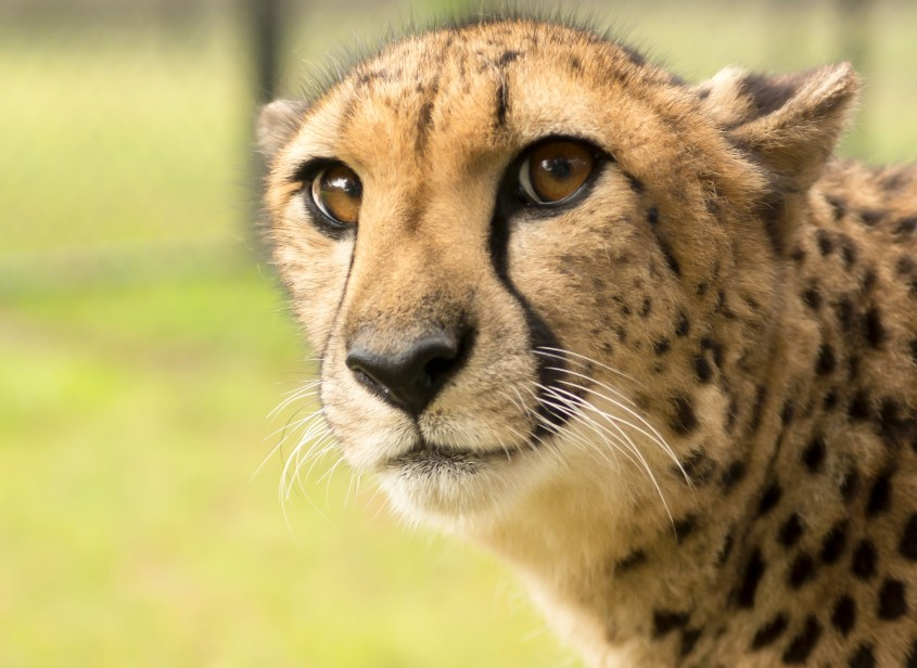 Cheetah Close Up One