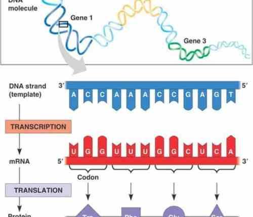 One gene, one polypeptide rule