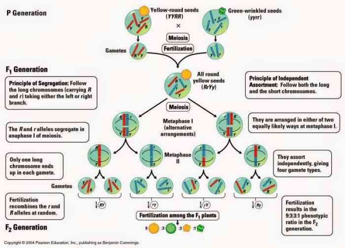 Diagram of Chromosome Theory of Inheritance