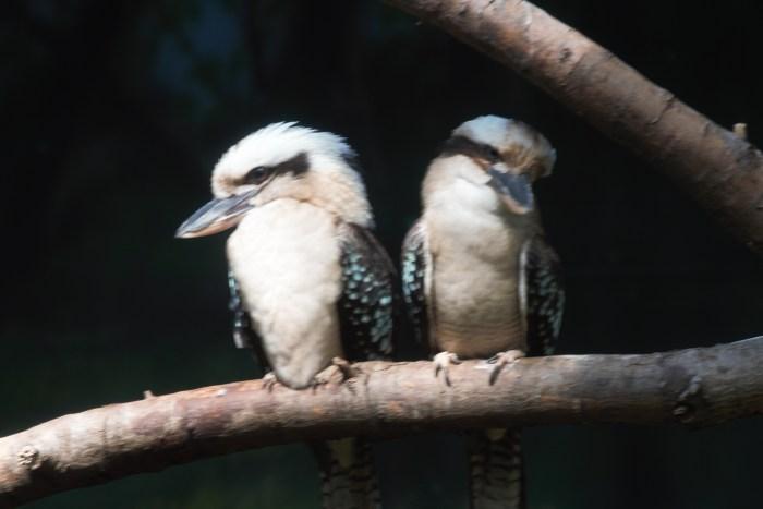 Young Kookaburra