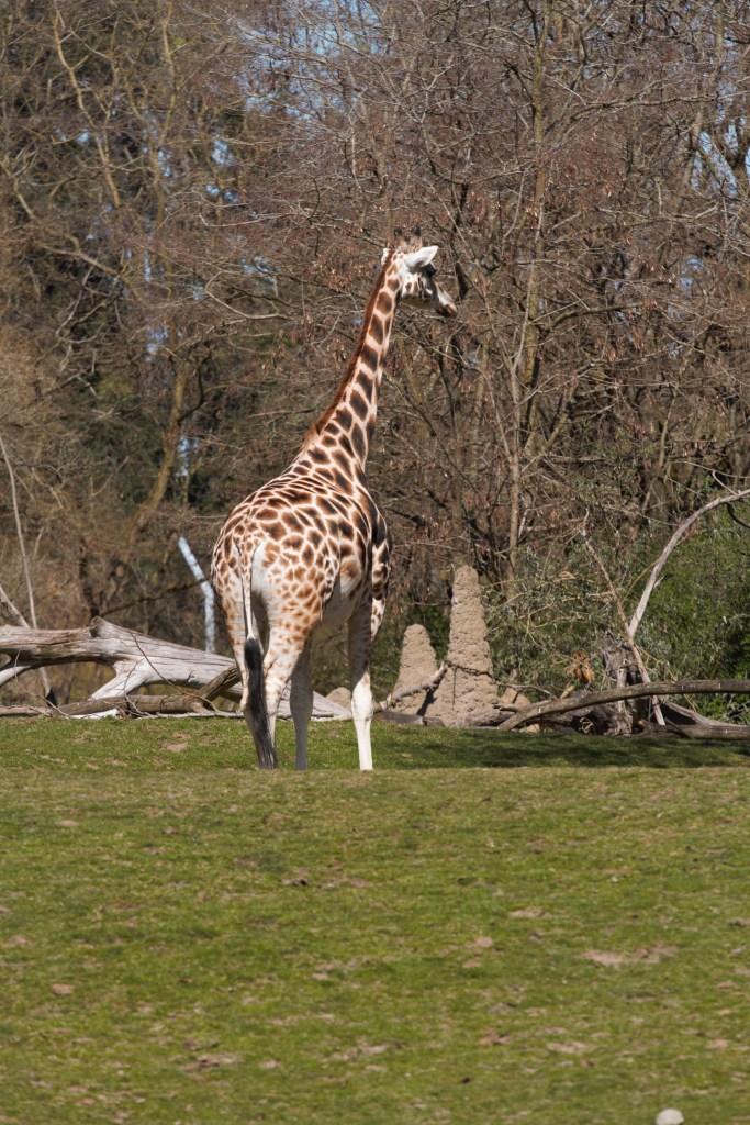 Giraffe At Woodland Park Zoo