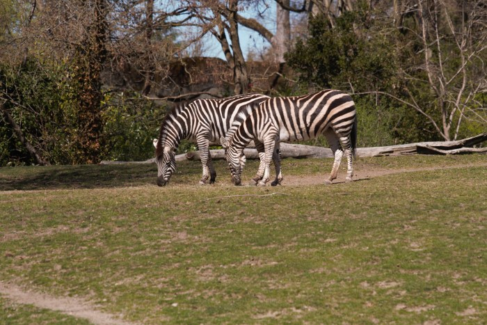 Zebras at Woodland Park Zoo