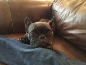 Gratuitous French Bulldog Pic #2