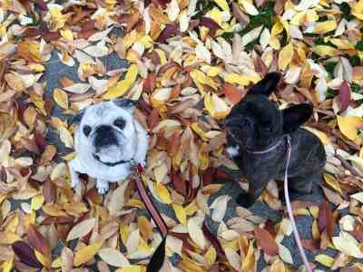 October 4, 2015: The Dogs In Toronto Prep Mode!