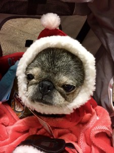 December 4, 2016: Snow Monkeys On The Brink!  Suji Settles In!