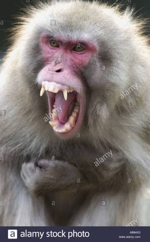 Japanese-macaque-snow-monkey-macaca-fuscata-shouting-displaying-his-ab84x3