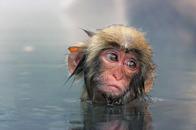 Sad-snow-monkey